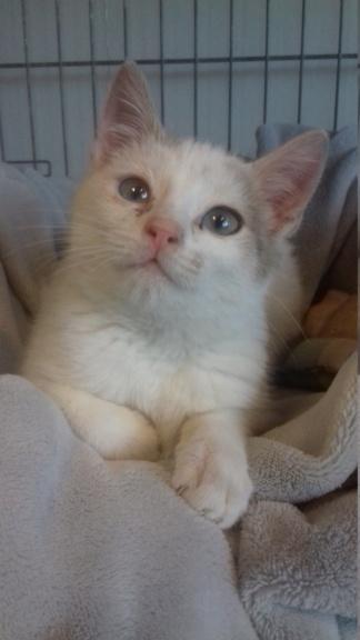 Armany  (chaton grise blanc) 20201229