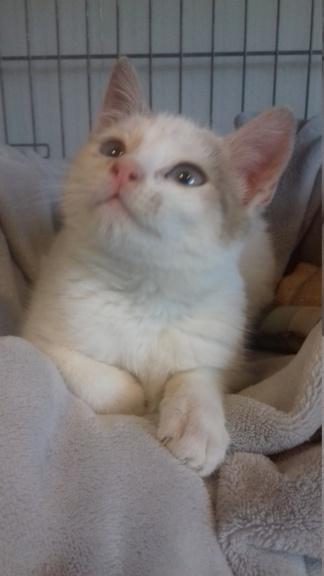 Armany  (chaton grise blanc) 20201230