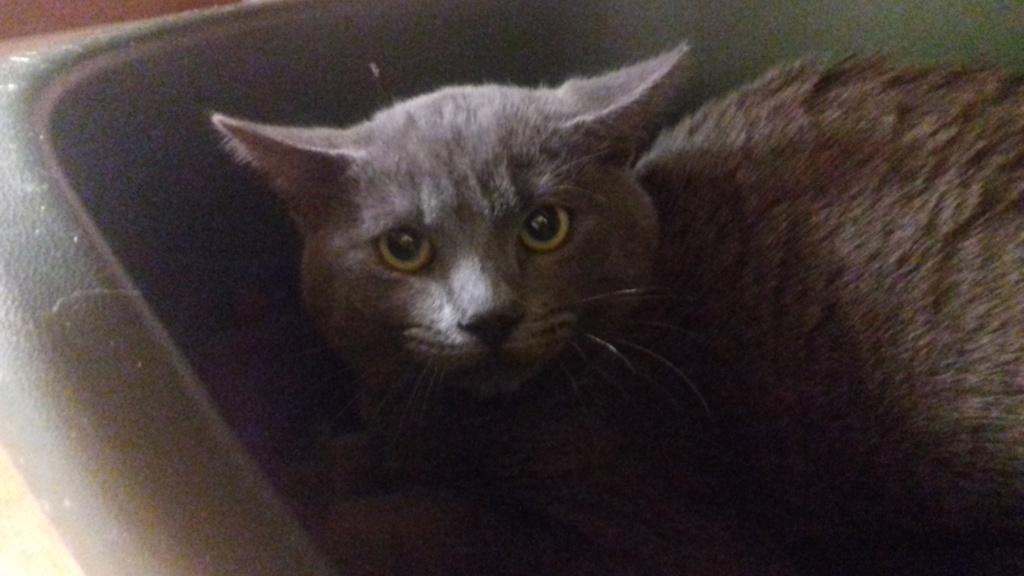 Pandore (chat mâle européen gris chartreux) 20201231