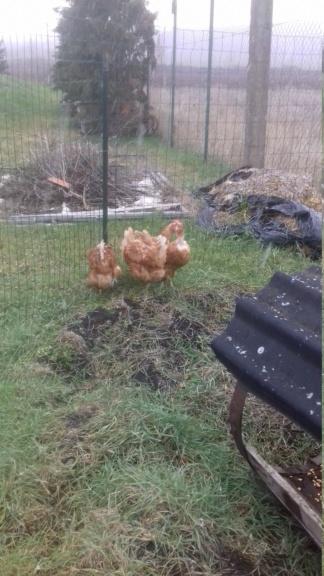 Des poules!! 20210112