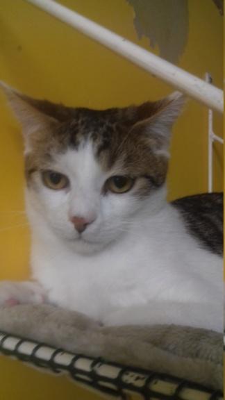GEPETTO (chaton tigré et blanc) 20210132