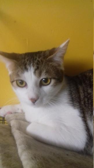 GEPETTO (chaton tigré et blanc) 20210133
