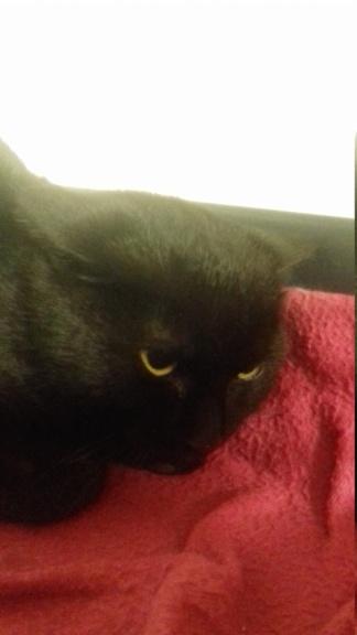 NEKO (jeune chat noir) 20210137