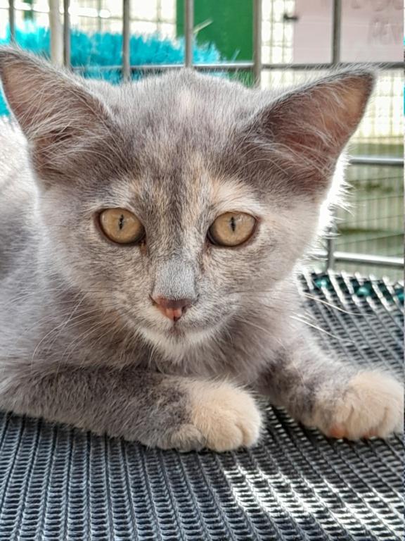Tara (chaton femelle isabelle) 20210145