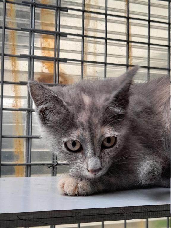 Tara (chaton femelle isabelle) 20210146