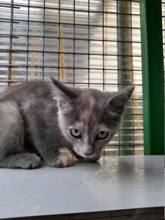 Tara (chaton femelle isabelle) 20210147