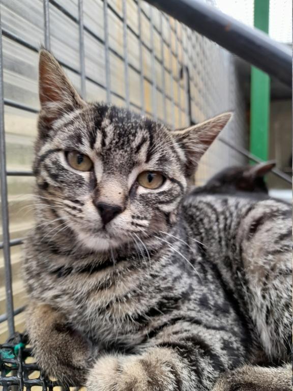 PERSEPHONE (chaton femelle tigrée) 20210155