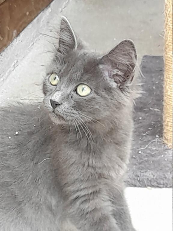 Eleven (chaton femelle croise chartreuse) 20210185