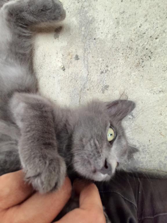 Eleven (chaton femelle croise chartreuse) 20210186