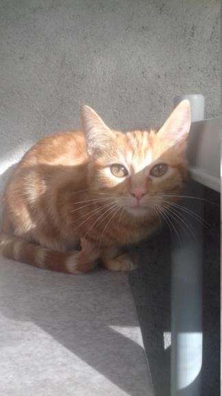 BURBERRY (chaton femelle  rousse europeenne) 20210226