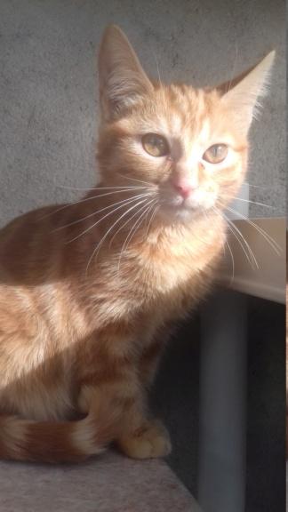 BURBERRY (chaton femelle  rousse europeenne) 20210227