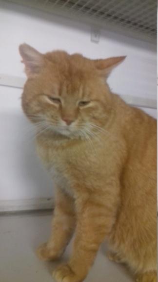 PEPO (chat mâle roux européen ) 20210228