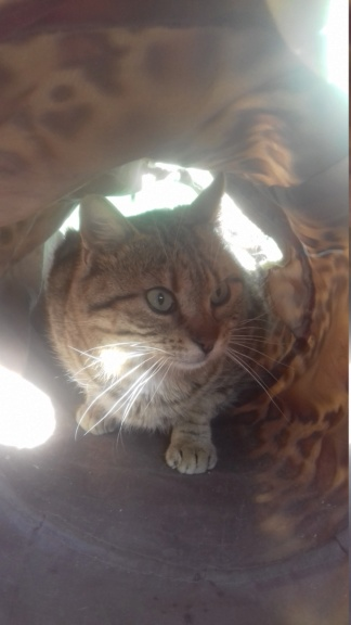 Tenjy (chat européen tigré ) 20210316