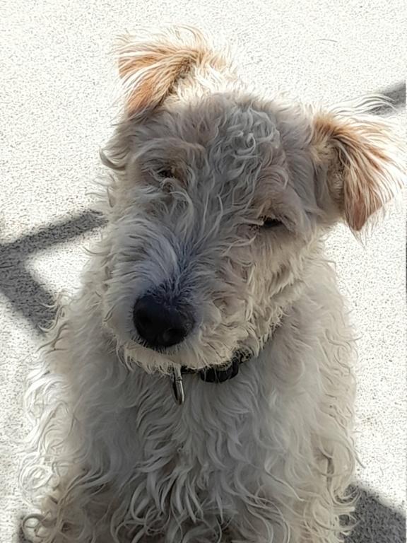 Tintin (fox terrier) 20210426