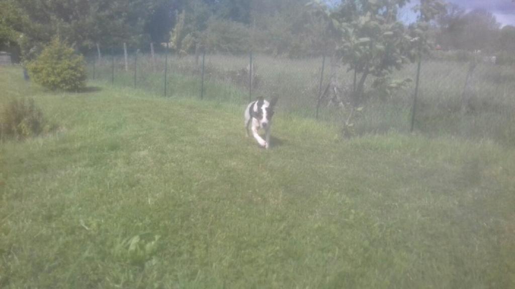 NORVEGE (chienne croisée courant/gascon) 20210519