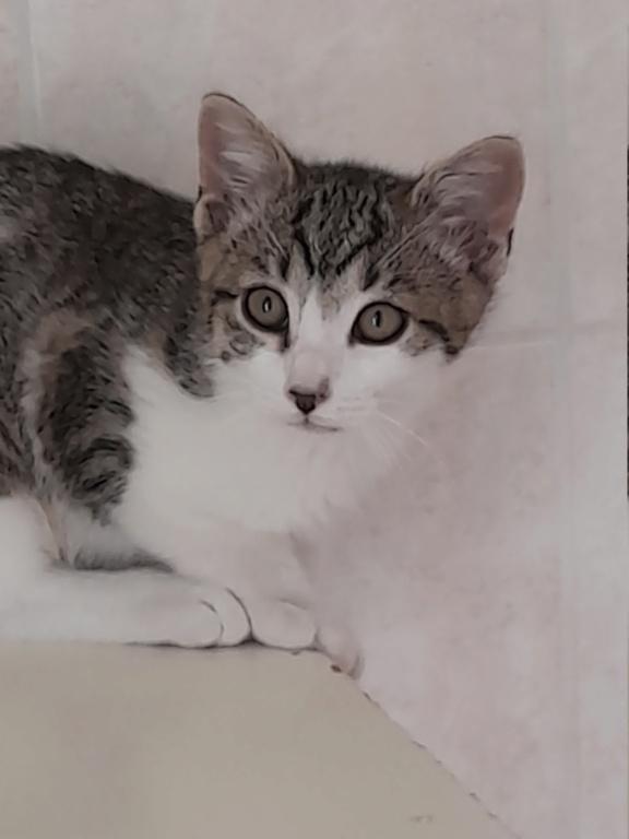 PRIMUS (chaton mâle tigré et blanc) 20210620