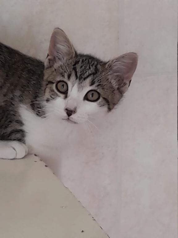 PRIMUS (chaton mâle tigré et blanc) 20210621