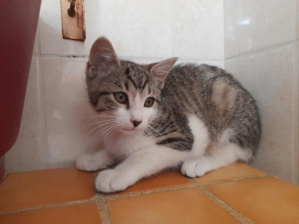 PRIMUS (chaton mâle tigré et blanc) 20210622