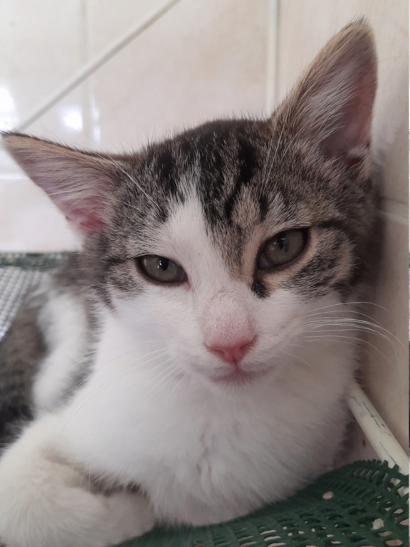 PRIMAVERA ( chaton femelle tigrée et blanche) 20210623