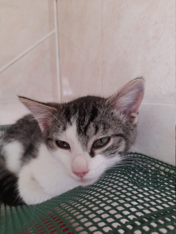 PRIMAVERA ( chaton femelle tigrée et blanche) 20210624