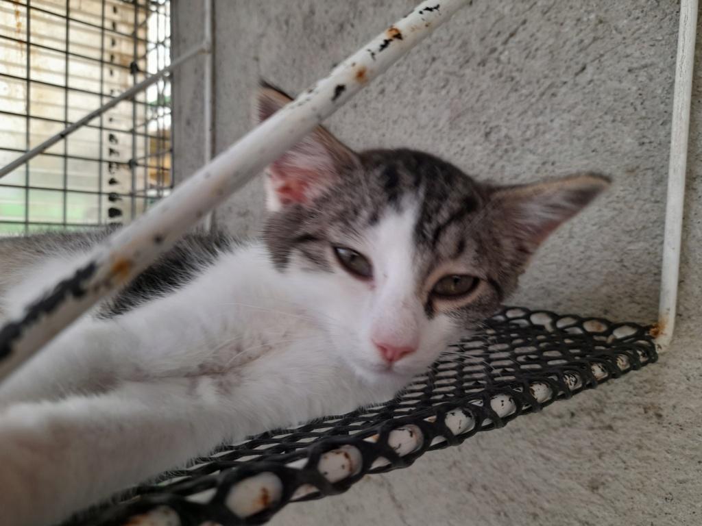 PRIMAVERA ( chaton femelle tigrée et blanche) 20210626