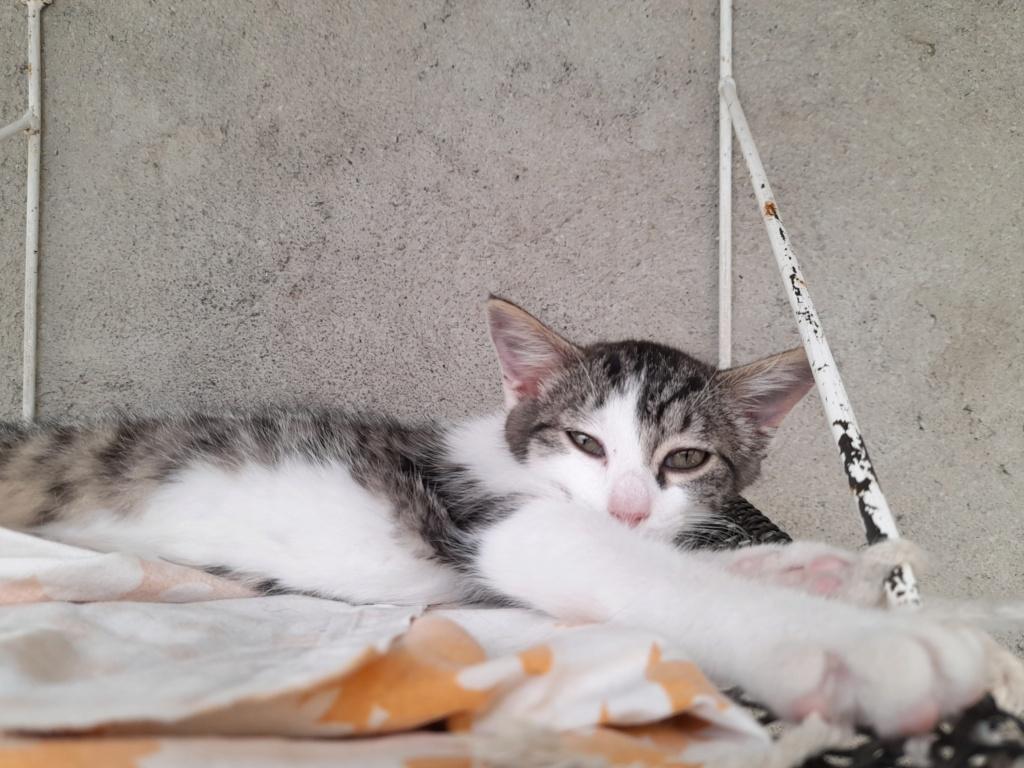 PRIMAVERA ( chaton femelle tigrée et blanche) 20210627