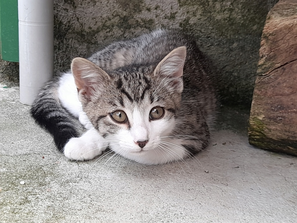 PRIMUS (chaton mâle tigré et blanc) 20210628