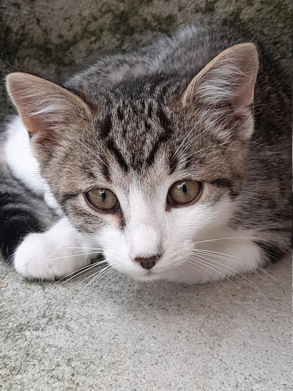 PRIMUS (chaton mâle tigré et blanc) 20210629