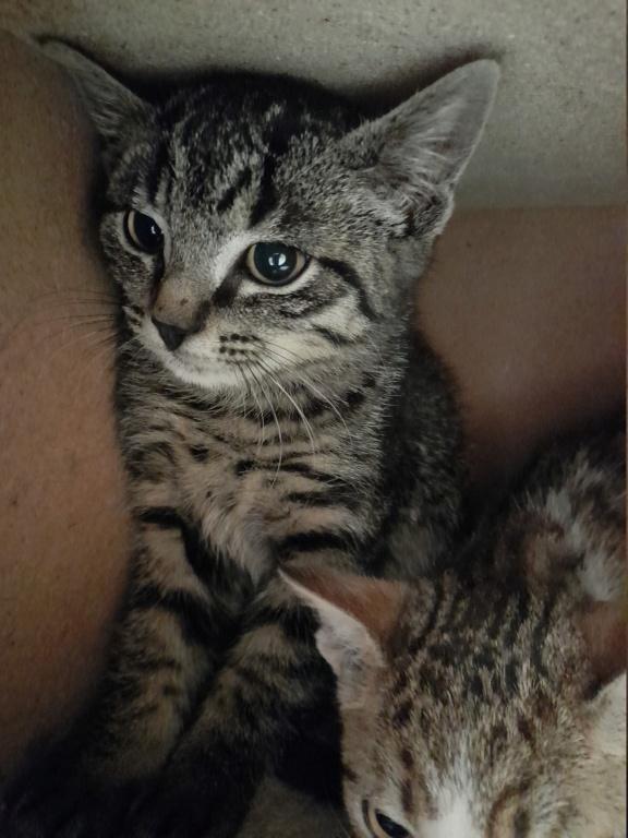 PERSEPHONE (chaton femelle tigrée) 20210640