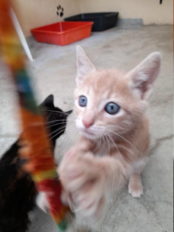 Crokmou (chaton mâle roux clair) 20210718