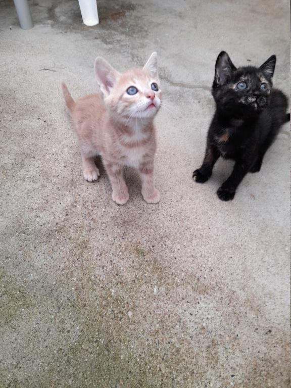Crokmou (chaton mâle roux clair) 20210719