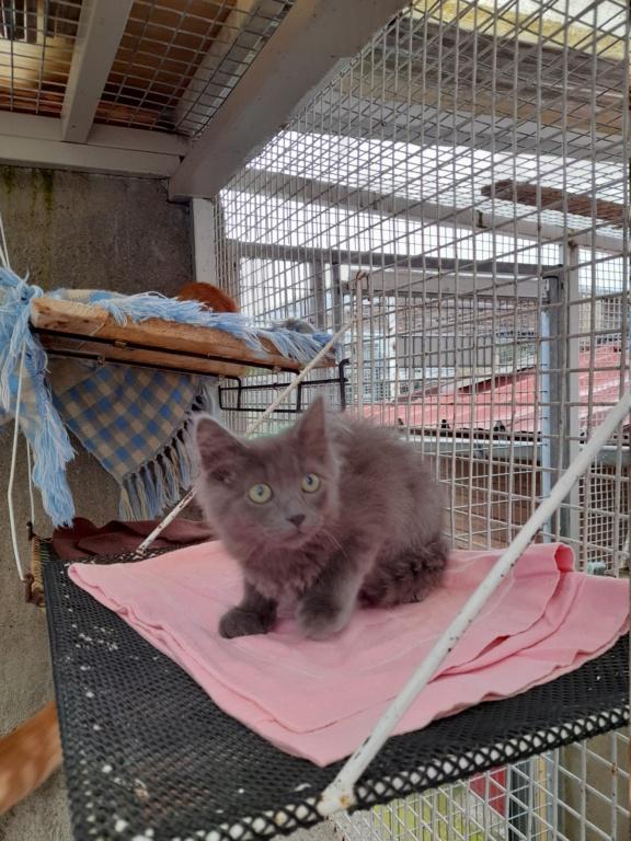 Eleven (chaton femelle croise chartreuse) 20210780