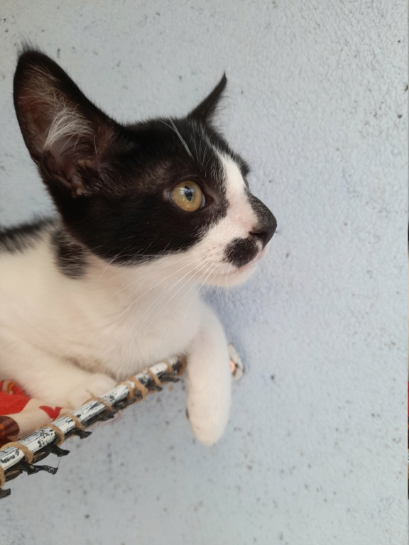 Funky (chaton européen noir et blanc) 20210869