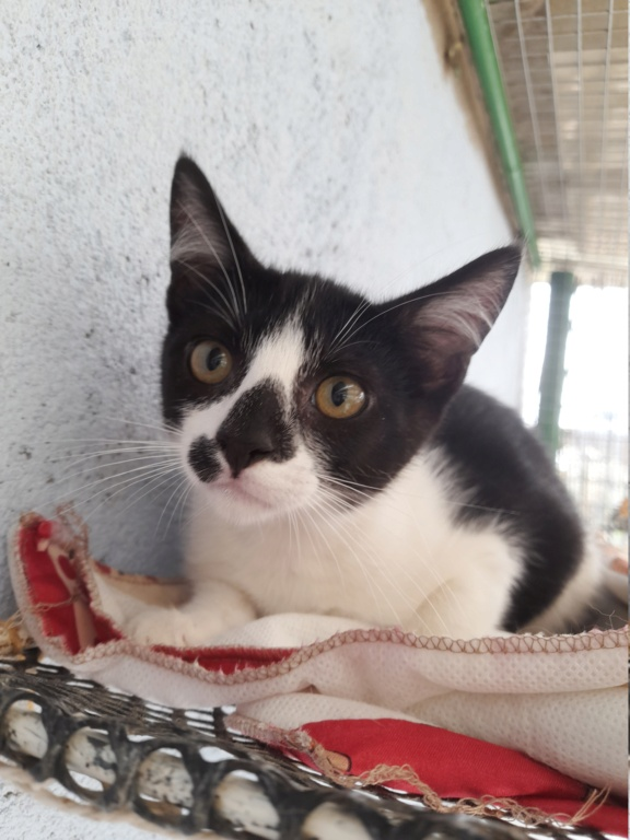 Funky (chaton européen noir et blanc) 20210870