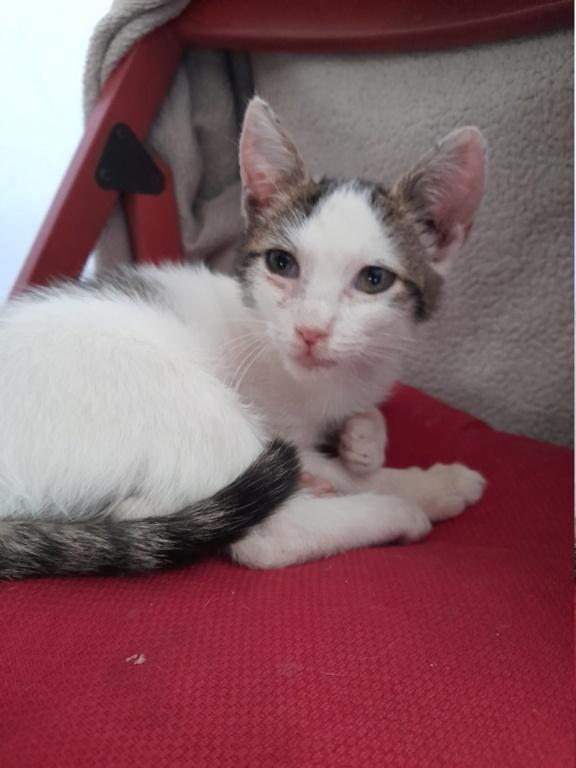 VAIANA (chaton femelle blanche et tigrée) 20210910