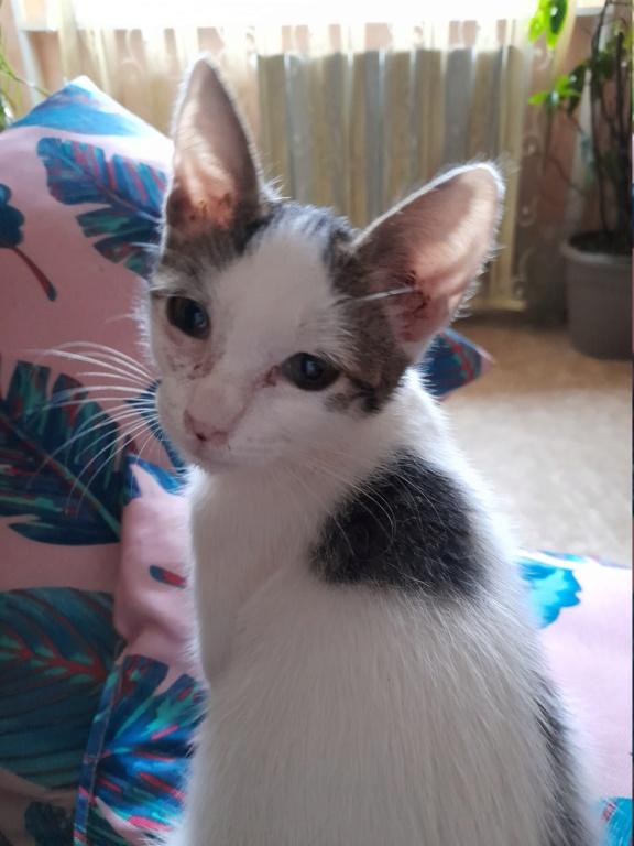 VAIANA (chaton femelle blanche et tigrée) 20210936