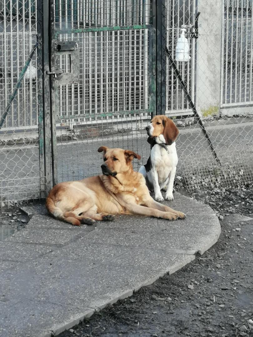 REINE (femelle croisée beagle)  H10