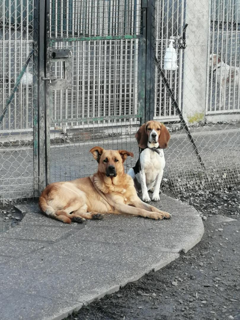 REINE (femelle croisée beagle)  Hoo11