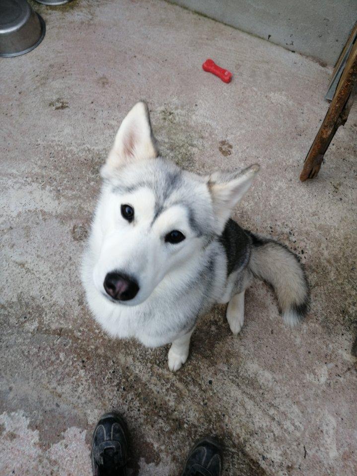 Mazi  (femelle husky) Image019