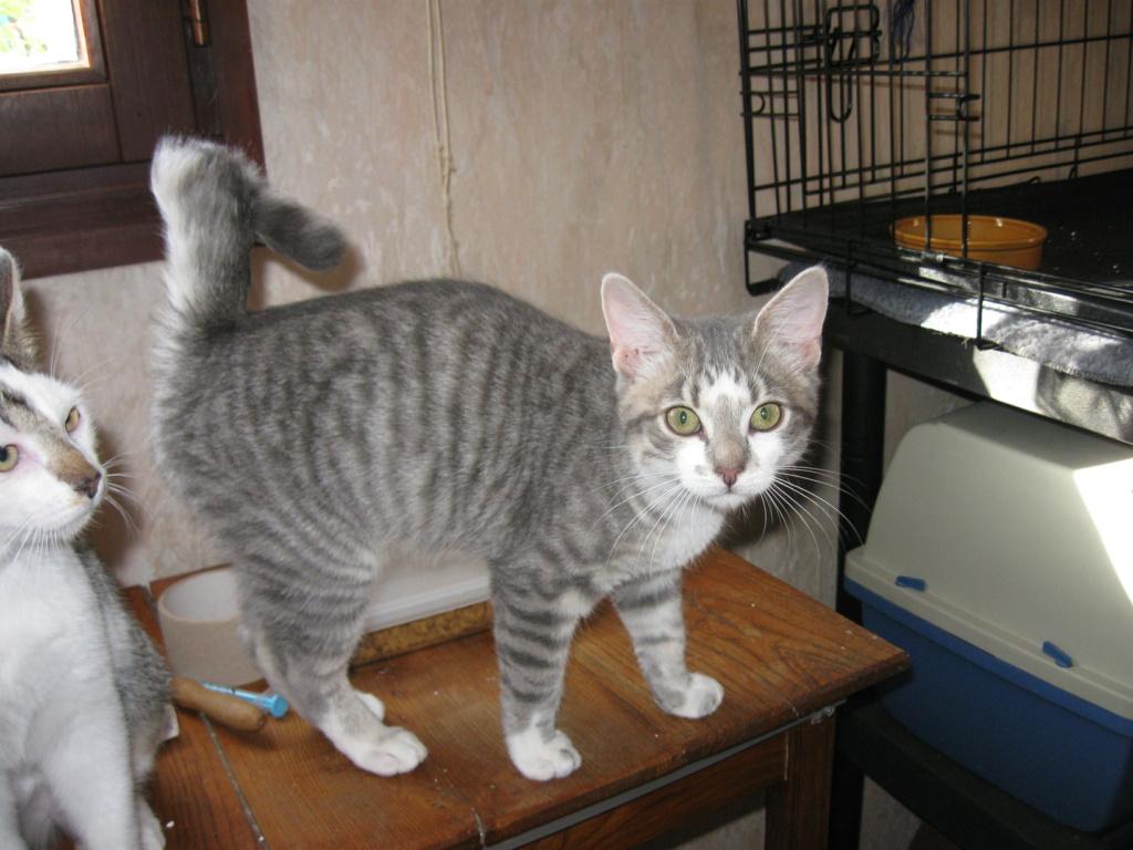 Perceval (chaton européen)  Img_1711