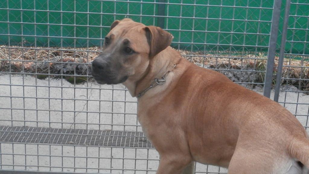 BOUBOU (mâle croisé cane corso) P2068810