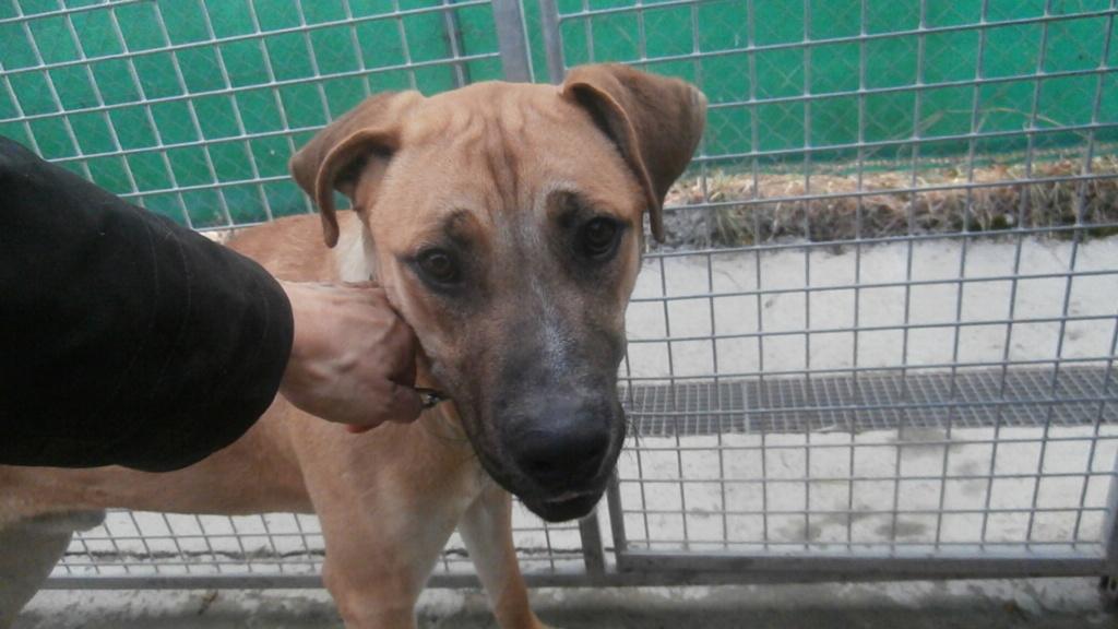 BOUBOU (mâle croisé cane corso) P2068811