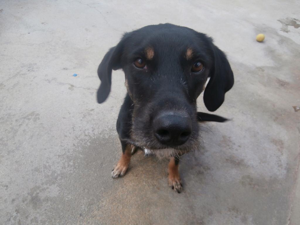 FALCO (chien croisé border) P2269215