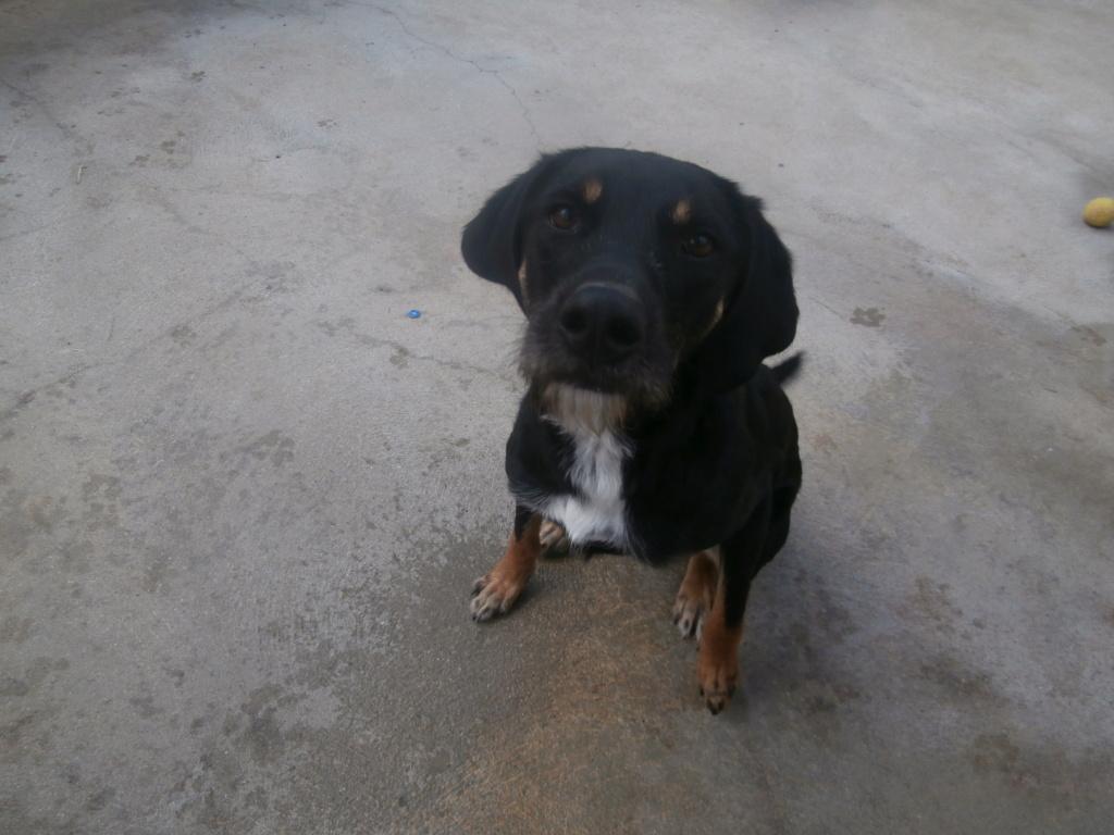FALCO (chien croisé border) P2269216