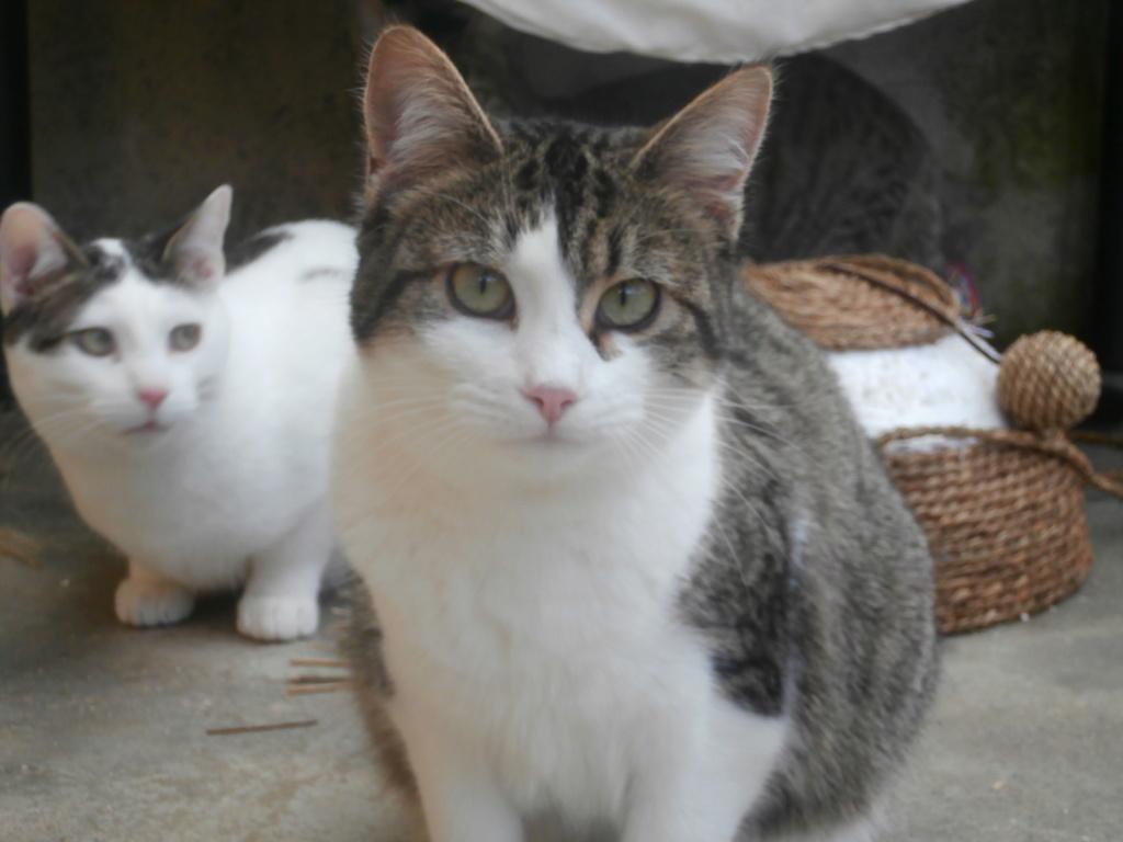 VENUS (chaton femelle tigrée et blanche) P3079325