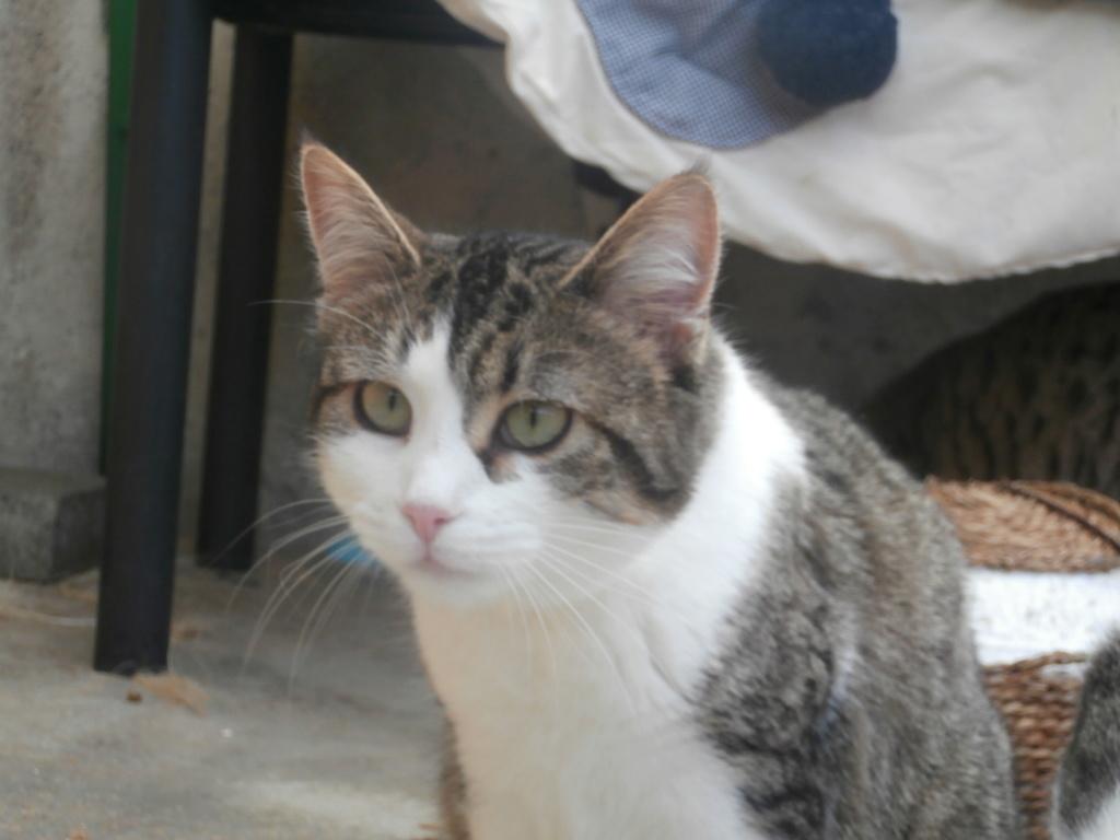 VENUS (chaton femelle tigrée et blanche) P3079326
