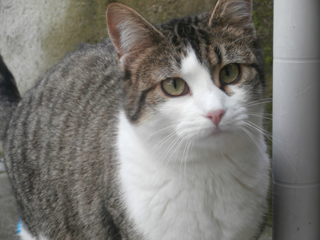 VENUS (chaton femelle tigrée et blanche) P3079327