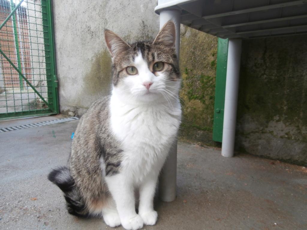 VENUS (chaton femelle tigrée et blanche) P3079328