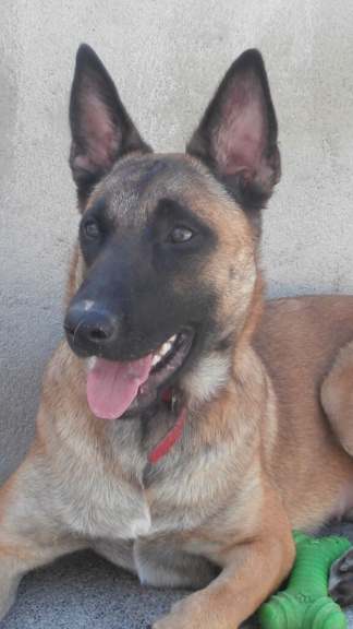 Lily (chienne malinoise) P5019214