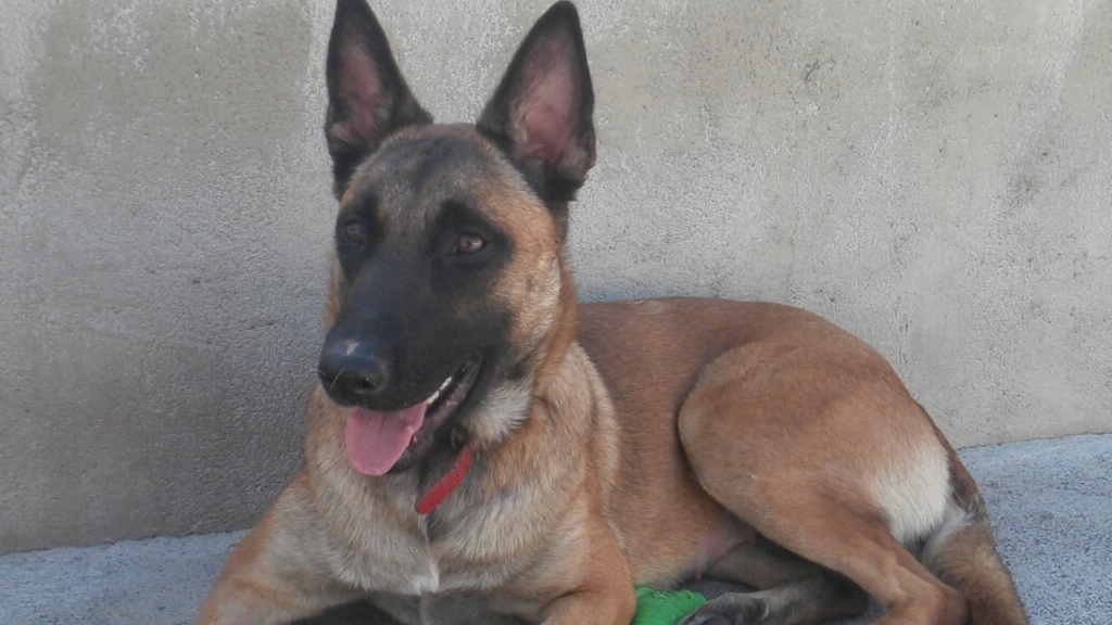 Lily (chienne malinoise) P5019215
